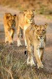 Linje av lejon Arkivfoto