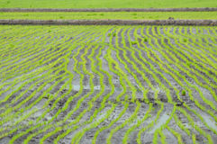 Linje av rices fotografering för bildbyråer