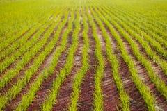 Linje av risväxten Arkivbild