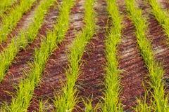 Linje av risväxten Arkivfoto