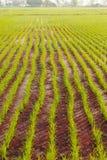 Linje av risväxten Royaltyfria Bilder