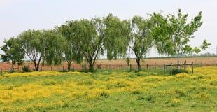 Linje av trees i ett buttercupfält Arkivbild