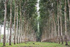 Linje för Treegummiträdgård Royaltyfri Foto