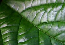 Linje och detalj av pandan gräsplan för blad Royaltyfri Bild