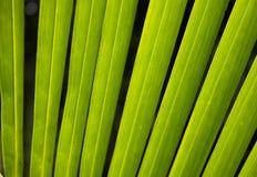 Linje på den gröna palmbladet på Asien Arkivbilder