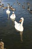 linje swan arkivbilder