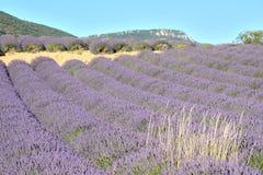 Linjer av blommande lavendelfält och grupper av blonda kulöra örter, på rätten , med ett berg i bakgrunden Fotografering för Bildbyråer