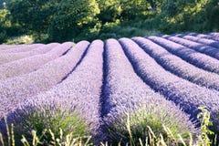 Linjer av blommande lavendlar som bildar några rullar royaltyfri fotografi