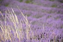 Linjer av det blommande fältet för lavendel` s med ett slut upp av en grupp av blonda kulöra örter, på det vänstert Royaltyfri Fotografi