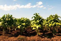 Linjer av gröna tobakväxter på ett fält Royaltyfri Bild