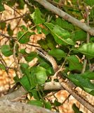 Link-marked Sandsnake. A Link-marked Sandsnake (Psammophis biseriatus)  moving in the thicket Stock Images
