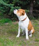 Linke Seite des American Staffordshire Terriers stockbild