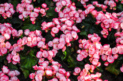 Linked White Pink Begonia Stock Photos
