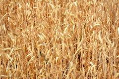 Linker Trockner Unharvested-Weizens auf einem Gebiet Lizenzfreie Stockfotos