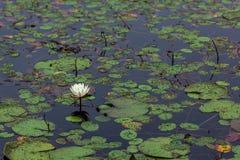 linkerkader witte bloeiende waterlelie in diep blauw vijverwater royalty-vrije stock foto