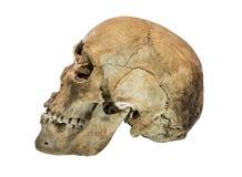 Linkerkantmening van menselijke schedel Royalty-vrije Stock Afbeeldingen