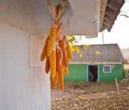 Linking of corn Stock Image