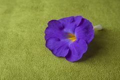 Linn do ternatea do Clitoria Imagem de Stock