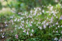 Linnaea Foto de Stock