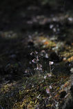 Linnaea borealis Royalty Free Stock Photo
