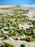 Linnaei de Aegagropila um tipo de algas verdes Foto de Stock Royalty Free