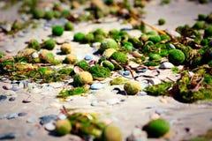 Linnaei de Aegagropila um tipo de algas verdes Fotos de Stock