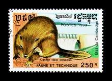 Linnaeus della fibra della macchina per colata continua del castoro, serie euroasiatici della diga, di fauna e di tecniche, circa Fotografia Stock Libera da Diritti