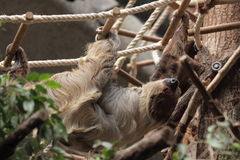 Linnaeus's two-toed sloth Royalty Free Stock Image