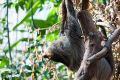 Linnaeus's two-toed sloth. (Choloepus didactylus) on a tree Royalty Free Stock Photo