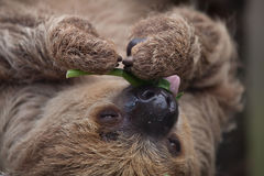 Linnaeus`s two-toed sloth Choloepus didactylus Royalty Free Stock Photography