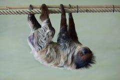 Linnaeus's two-toed sloth (Choloepus didactylus). Stock Image