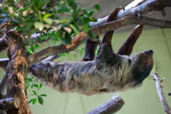 Linnaeus's two-toed sloth (Choloepus didactylus). Stock Photography