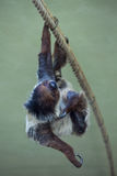 Linnaeus's two-toed sloth (Choloepus didactylus). Royalty Free Stock Images