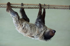 Linnaeus's two-toed sloth (Choloepus didactylus). Stock Images