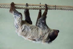 Linnaeus's two-toed sloth (Choloepus didactylus). Royalty Free Stock Photo