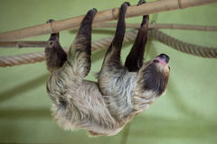 Linnaeus's two-toed sloth (Choloepus didactylus). Royalty Free Stock Photos