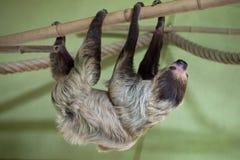 Linnaeus's two-toed sloth (Choloepus didactylus). Royalty Free Stock Photos