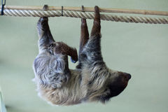 Linnaeus's two-toed sloth (Choloepus didactylus). Stock Photo