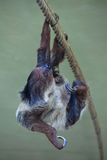 Linnaeus's two-toed sloth (Choloepus didactylus). Linnaeus's two-toed sloth (Choloepus didactylus), also known as the southern two-toed sloth. Wild life animal Stock Images