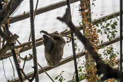 A Linnaeus`s two-toed sloth Choloepus didactylus behind the lattice hanging at the constructions of an exhibit Stock Image