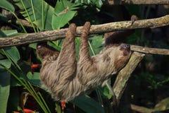 Linnaeus`s two-toed sloth Choloepus didactylus Royalty Free Stock Photos