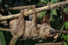Linnaeus`s two-toed sloth Choloepus didactylus Stock Photo