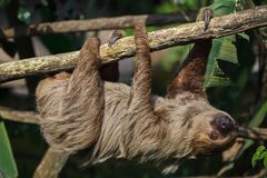 Linnaeus`s two-toed sloth Choloepus didactylus. Also known as the southern two-toed sloth Stock Photography
