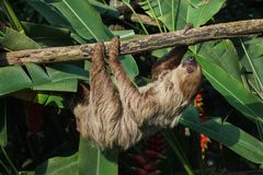Linnaeus`s two-toed sloth Choloepus didactylus. Also known as the southern two-toed sloth Royalty Free Stock Photos