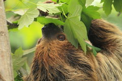 Linnaeus's two-toed sloth Stock Image