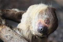 Linnaeus two-toed sloth Royalty Free Stock Photography
