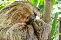 Linnaeuss två-toed sengångare (Choloepusdidactylusen) Royaltyfri Fotografi