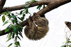 Linnaeuss two-toed sloth (Choloepus didactylus) Stock Photos