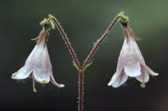Linnea mała witka i menchia kwiat obraz stock