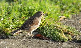 Linnet. Stock Photo